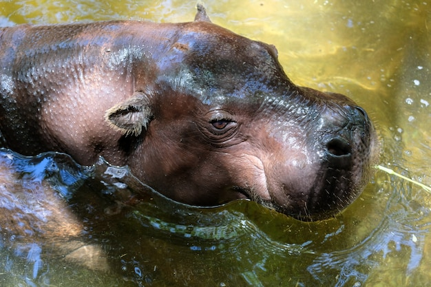Hippopotame nain au bioparc de fuengirola