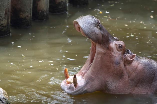 Hippopotame ouvrant la bouche
