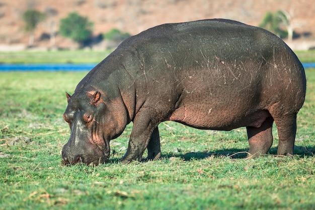 Hippopotame paissant au bord de la rivière