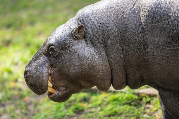 L'hippopotame pygmée, choeropsis liberiensis ou hexaprotodon liberiensis est un petit hippopotame originaire des forêts et des marécages de l'afrique de l'ouest, du libéria, de la sierra leone, de la guinée, de la côte d'ivoire