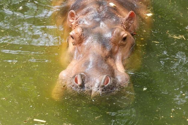 L'hippopotame reste dans la rivière