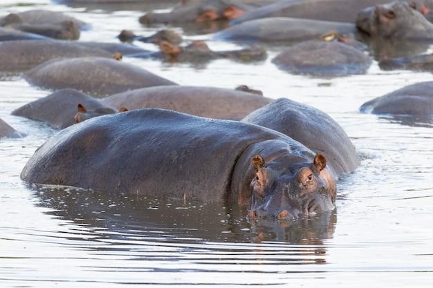 Hippopotame se trouve dans l'eau d'un lac