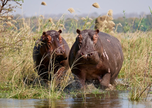 Hippopotames dans le bas zambèze