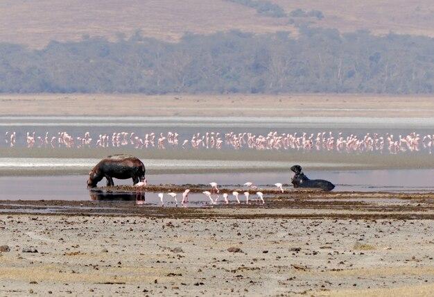 Hippopotames dans le cratère du ngorongoro - tanzanie