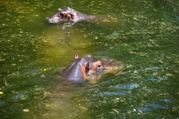 Hippopotames dans l'étang à l'état sauvage pendant la journée à propos de la lumière du soleil