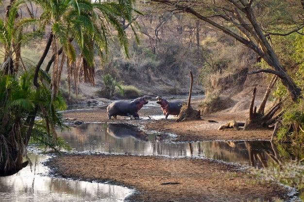 Hippopotames dans le parc national du serengeti - tanzanie