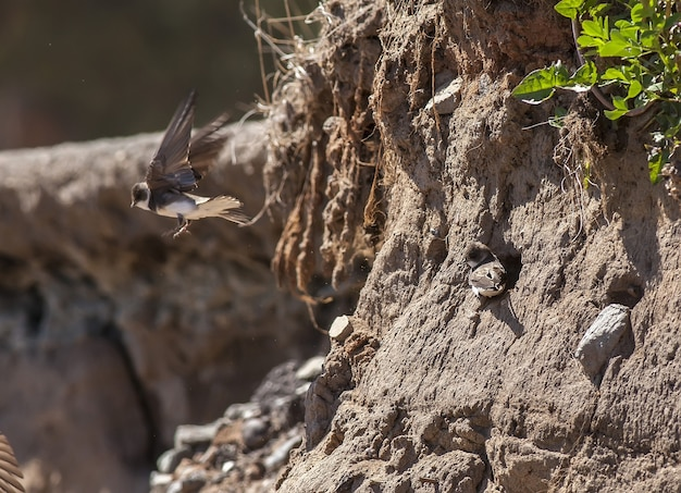 Une hirondelle près du nid