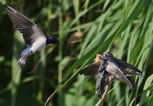 Hirondelle rustique adulte nourrissant les poussins par voie aérienne.
