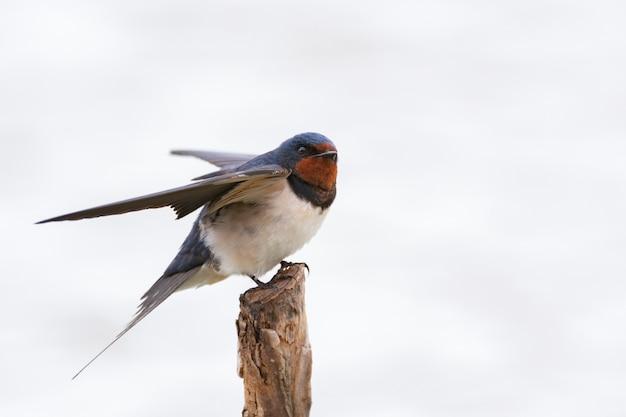 Hirondelle rustique hirundo rustica aux ailes ouvertes.
