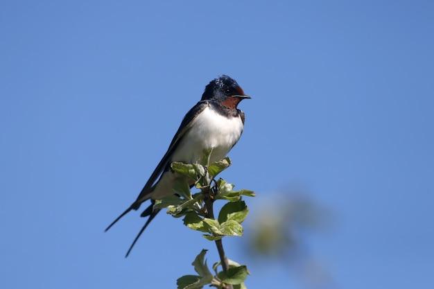 L'hirondelle rustique (hirundo rustica) close-up contre un ciel bleu