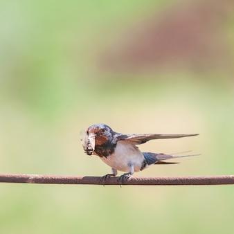 Hirondelle rustique hirundo rustica, oiseau adulte avec un insecte dans son bec.