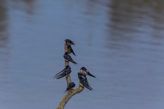 Les hirondelles de granges dans la réserve naturelle d'aiguamolls de l'emporda, gérone, espagne