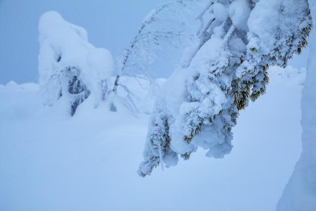 L'hiver. une branche d'épinette recouverte d'une épaisse couche de neige