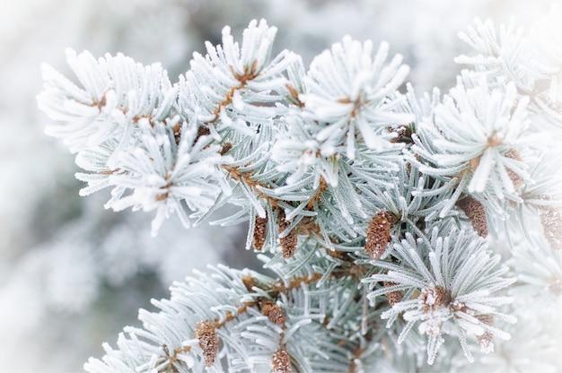 L'hiver . un conifère dans la gelée blanche et la neige