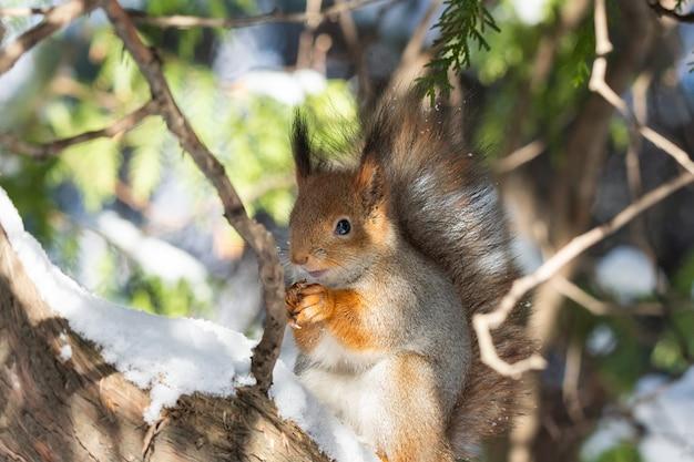 Hiver écureuil