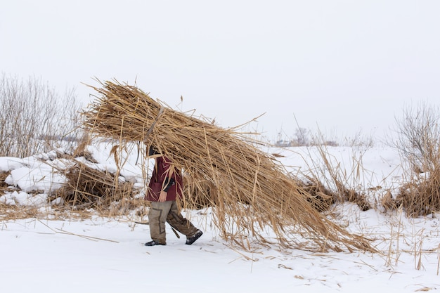 Hiver. un homme marche dans la neige avec un énorme paquet de roseaux secs sur le dos