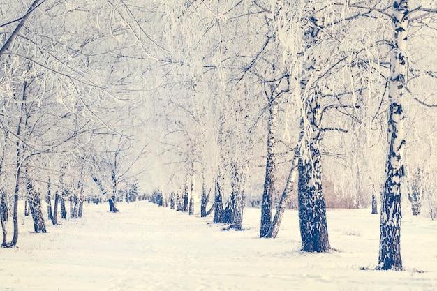 L'hiver russe. piste de ski dans une forêt de bouleaux. allée de bouleau hiver glacial. route en forêt d'hiver. sentier dans le parc de la ville en hiver.