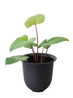 Homalomena rubescens (roxb.) plante kunth avec une belle feuille en forme de coeur en pot de fleurs noir isolé sur blanc comprend un tracé de détourage