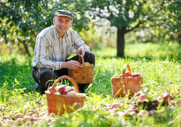 Homme adulte dans un jardin ensoleillé avec des paniers de pommes