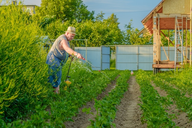 Un homme âgé dans un chapeau pulvérise un insecticide sur le dessus des pommes de terre