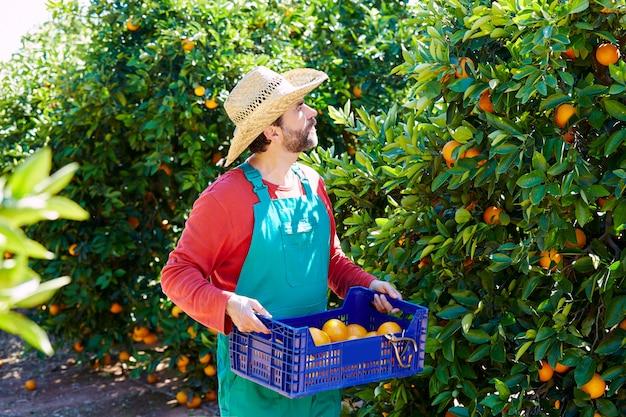 Homme agriculteur récolte des oranges dans un oranger
