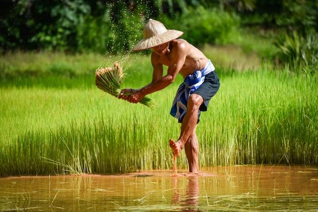 Homme agriculteur thaïlandais a frappé le riz tenant sur la main dans l'agriculture de rizière pour planter des terres agricoles