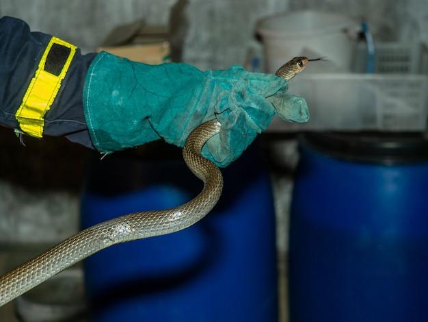Un homme attrape un serpent ratier en résident par un gant de sécurité en cuir