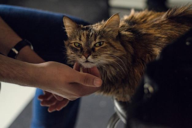 Un homme caresse et gratte un très beau chat. chat ludique