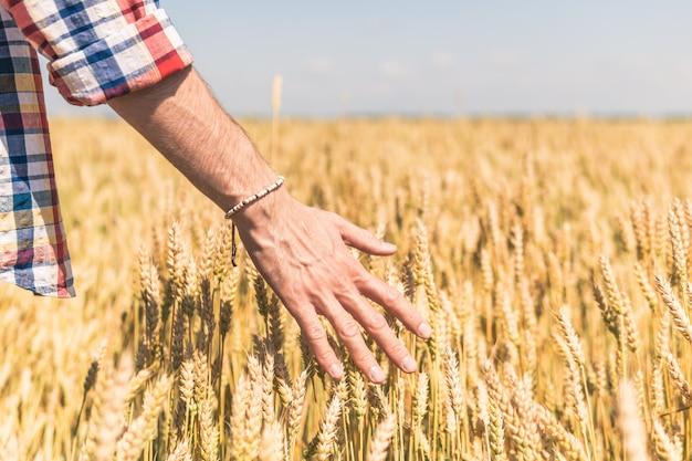 Un homme en chemise à carreaux passe sa main à travers les épis de blé
