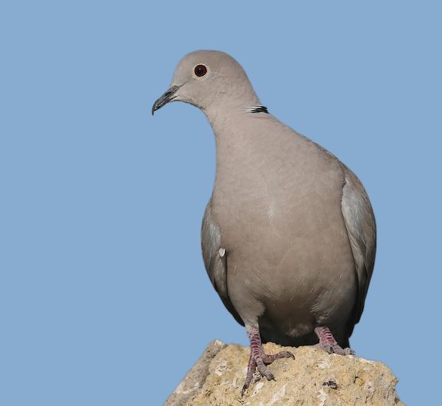 Un homme colombe à collier se dresse sur une pierre