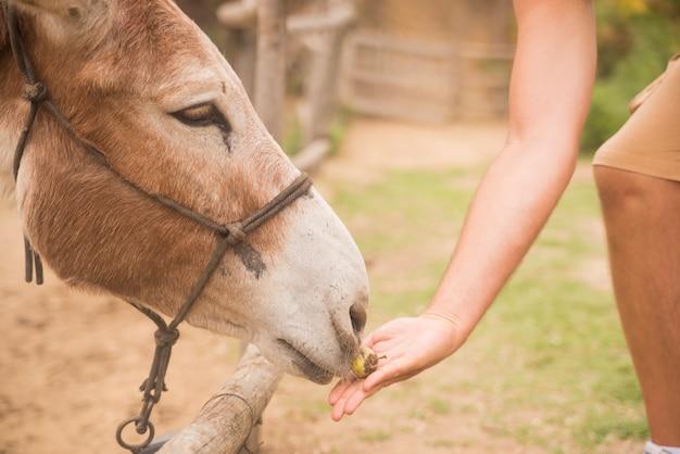 L'homme donne à manger une ferme d'ânes, des animaux et de la nature
