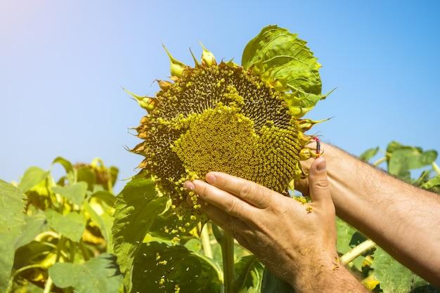 L'homme essaie les graines de tournesol dans sa main, en analysant la plénitude et la qualité