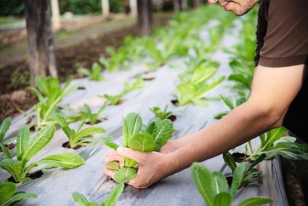 Homme de ferme travaillant dans son jardin de laitue biologique