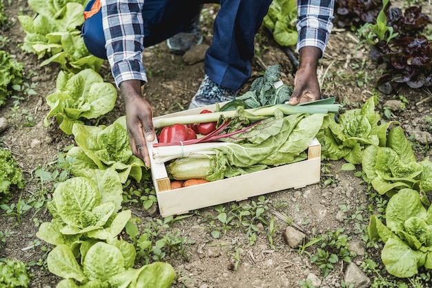Homme fermier africain tenant une boîte en bois avec des légumes biologiques frais - l'accent principal sur les mains