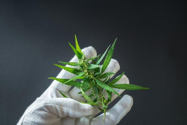 Homme en gants blancs tenant une branche de marijuana médicale avec des graines.