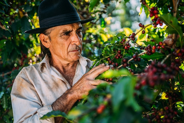 Homme latin cueillant des grains de café par une journée ensoleillée. le producteur de café récolte des baies de café. brésil
