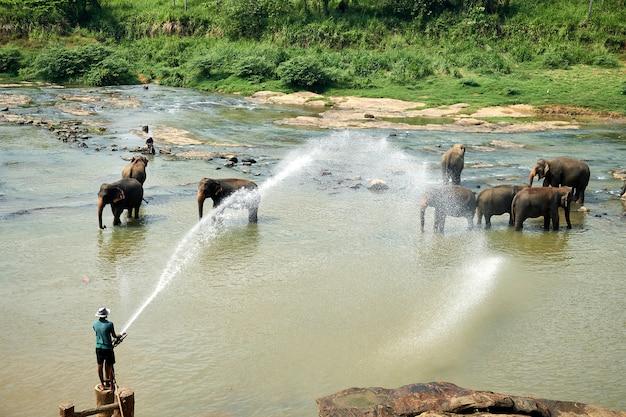 Homme lavant des éléphants dans la rivière de l'île asiatique