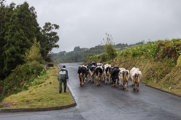 Homme marchant avec des vaches