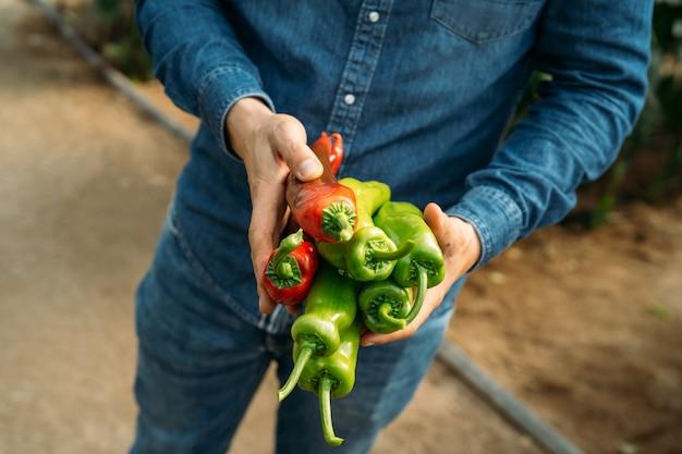 Homme méconnaissable tenant des poivrons rouges et verts italiens ou de palerme fraîchement récoltés dans une serre écologique. culture écologique