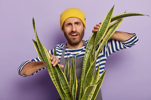 Un homme mécontent et perplexe avec du chaume fait pousser des plantes d'intérieur, doit essuyer la poussière sur la sansevieria