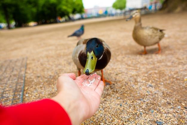 Un homme nourrit un canard de ses mains dans un parc de la ville. le canard drôle se réjouit.