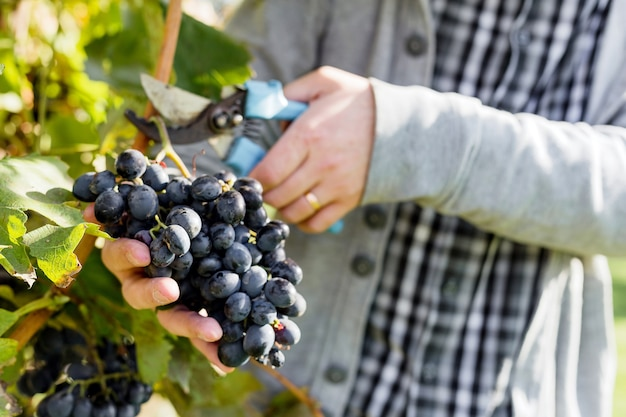 Homme récolte grappe mûre de raisins noirs sur vigne