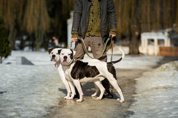 L'homme se tient avec deux bouledogues américains sur le chemin dans le parc