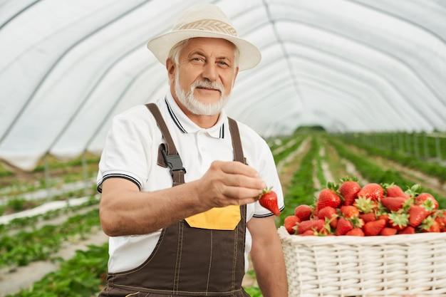 L'homme supérieur met la fraise mûre dans le panier dans la serre chaude