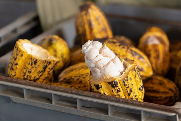 Homme tenant un fruit de cacao mûr avec des haricots à l'intérieur.
