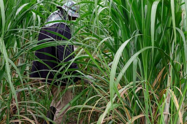 Les hommes sont épandeur d'engrais dans le champ de canne à sucre