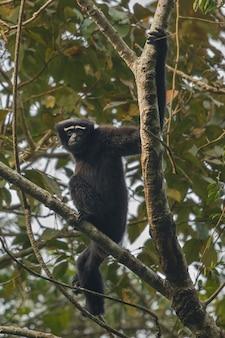 Hoolock gibbon haut sur un arbre singe indien sauvage dans la forêt indienne