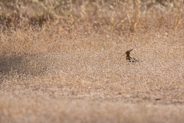 Hoopoe bird sur l'herbe sèche
