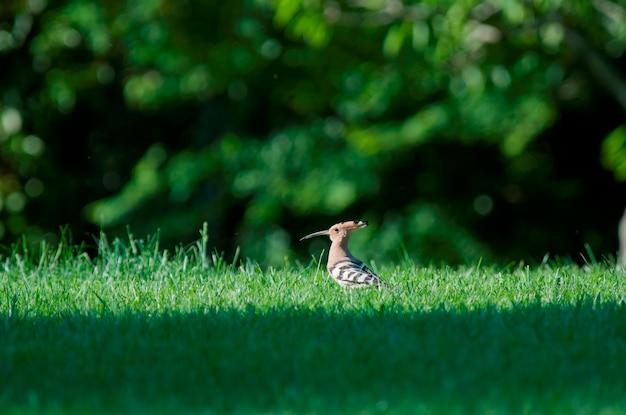 Un hoopoe dans un champ