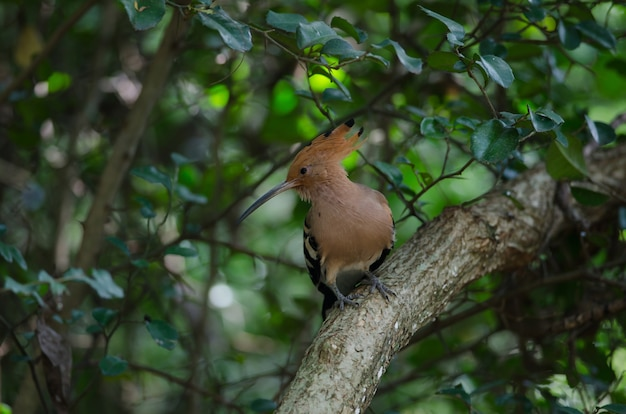 Hoopoe eurasienne ou hoopoe commune (upupa epops) dans la nature, thaïlande